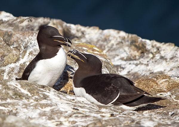 Razorbills nesting on Skomer