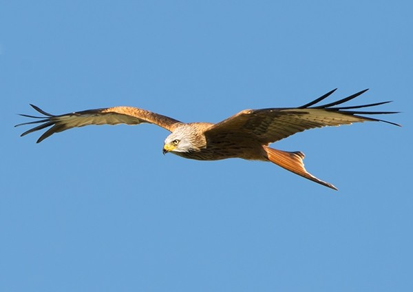 Red Kite hunting for prey