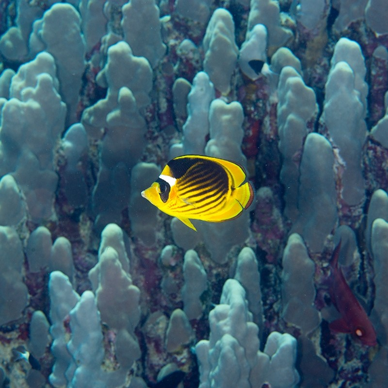 Diagonal Butterflyfish over a sea of coral columns