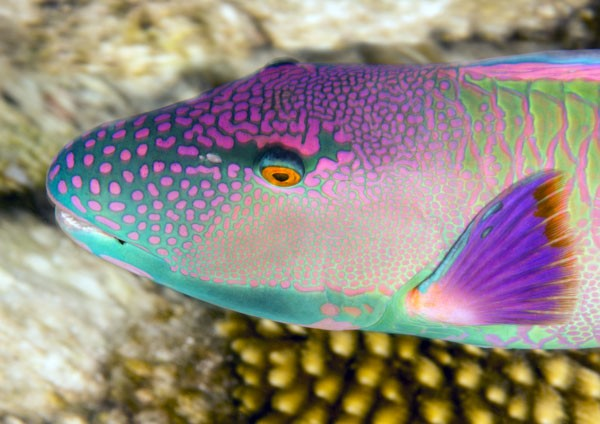 Red-speckled Parrotfish (male)