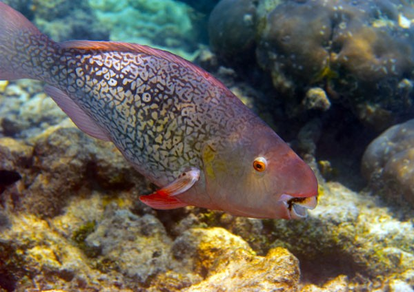 Photo Posters - Redlip Parrotfish in the rocky shallows ...