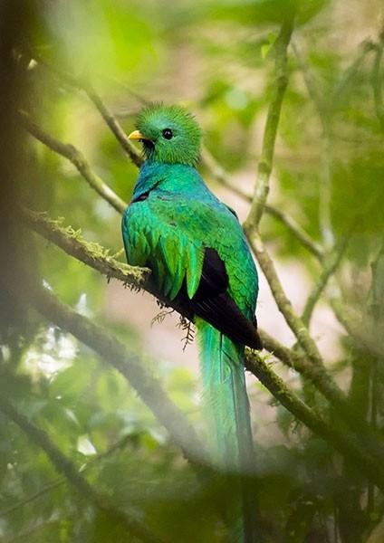 Iridescent Resplendent Quetzal