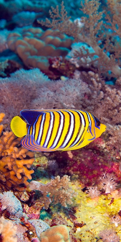 Royal Angelfish in the Red Sea