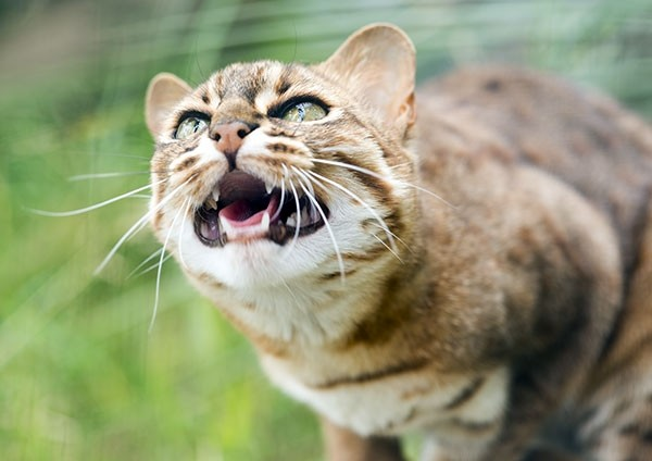 Rusty-spotted cat - Small in stature…big in attitude