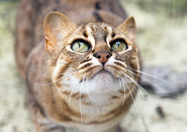 Adoring eyes - Rusty-spotted cat