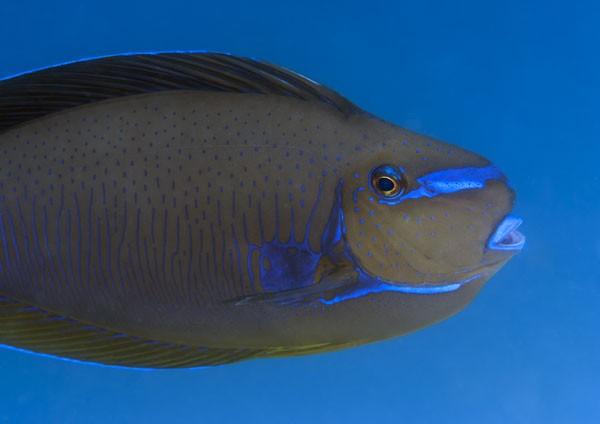 Scribbled Unicornfish, colours echoing the azure blue sea