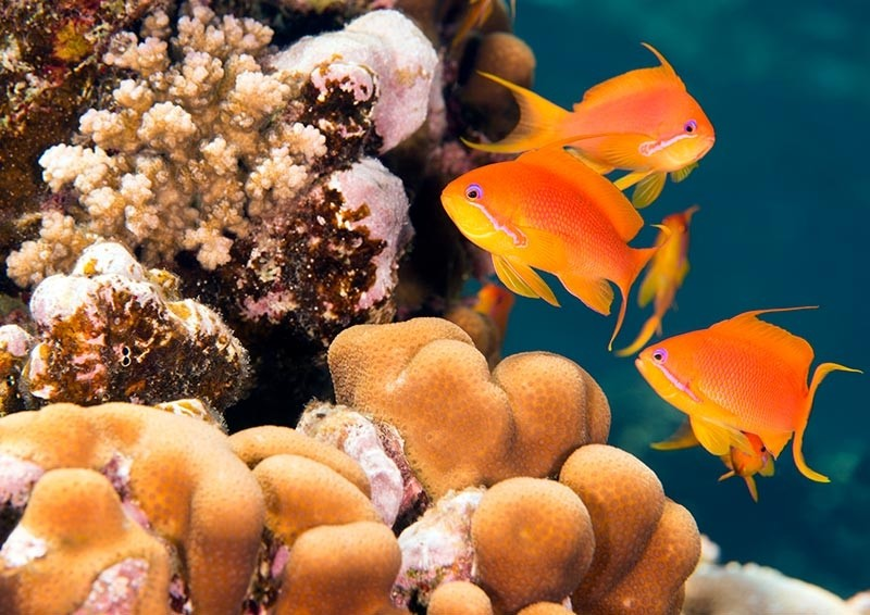 Sea Goldies by stony corals