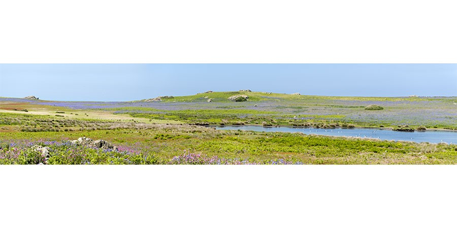 Wildflowers & Birdlife - Isle of Skomer