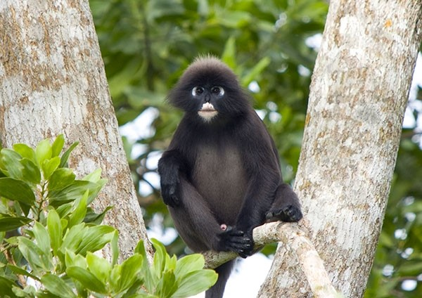 Spectacled Leaf Monkey perched on a rainforest tree