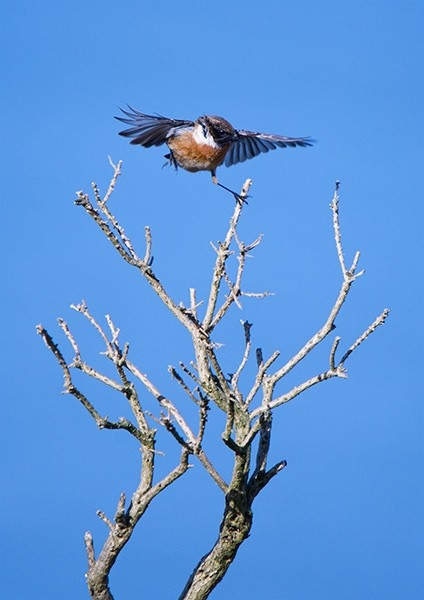 Stonechat landing on a gorse