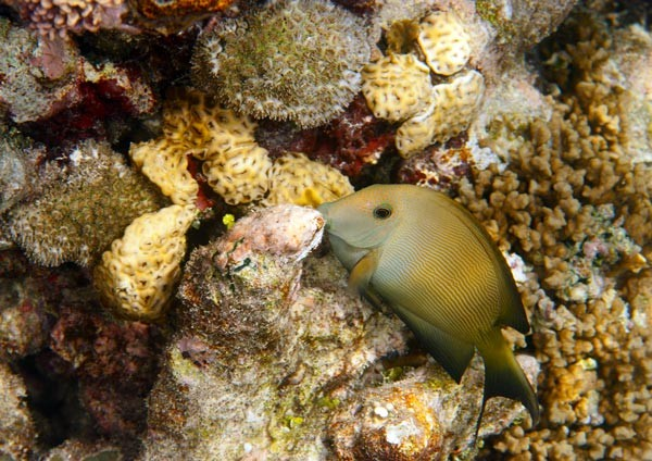 Striated Surgeonfish