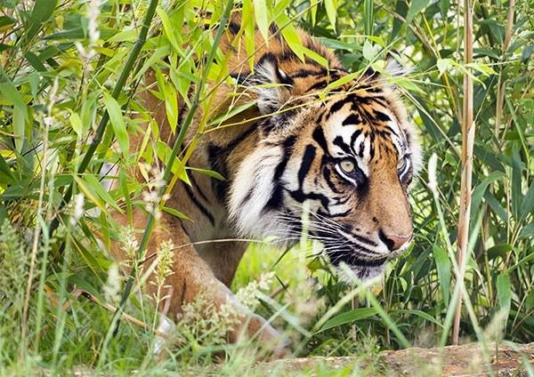 Sumatran Tiger Ambush