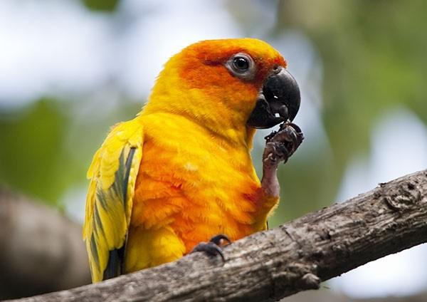 Sun Parakeet feeding