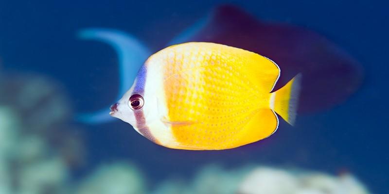 Sunburst Butterflyfish, vibrant in the deep blue sea