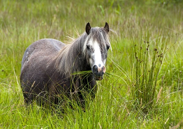 Grazing Welsh Pony contently munching on reeds