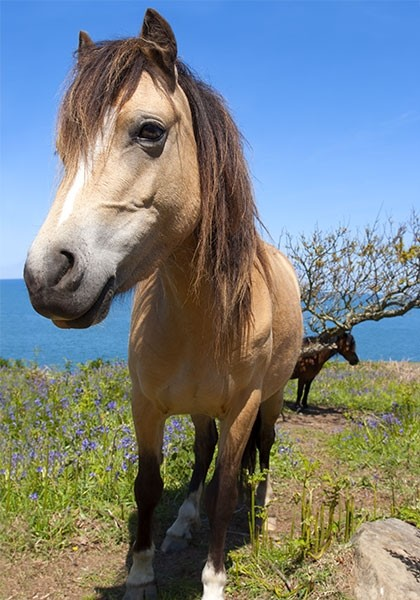 Pony among the bluebells of the coastline cliffs