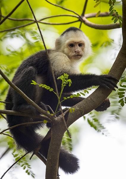 White-faced Capuchin in the Costa Rica Rainforest