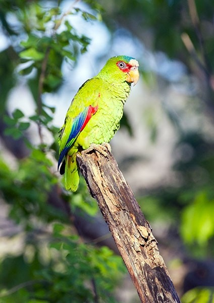 White-fronted amazon perched in a tropical forest