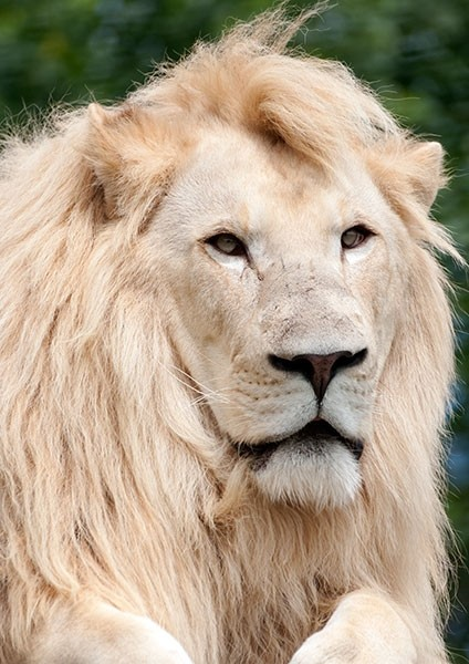 White lion - Transvaal Lion
