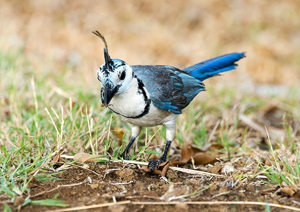 White-throated magpie-jay foraging