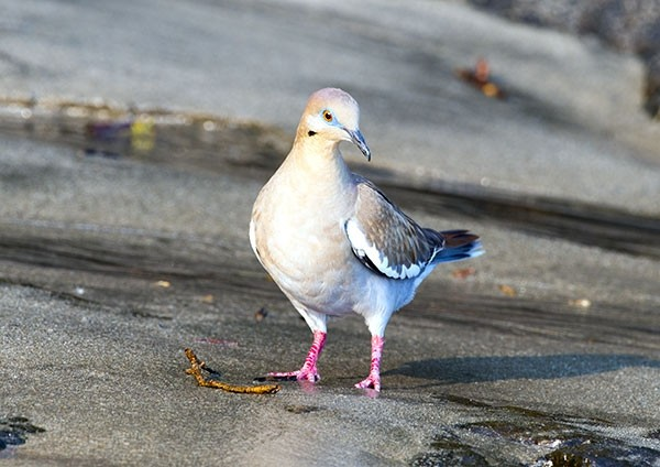 White-tipped dove on a tropical shoreline