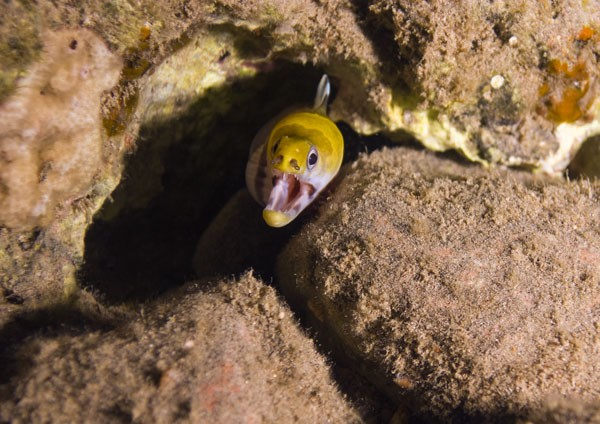 Yellow-headed moray eel