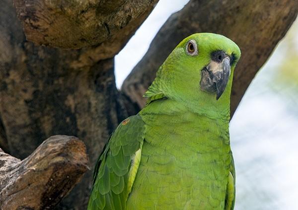 Yellow-naped Amazon close-up