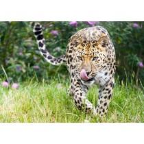 Amur leopard stalking