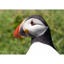 Atlantic Puffin Close-up