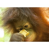 Orangutan closely inspecting a flower
