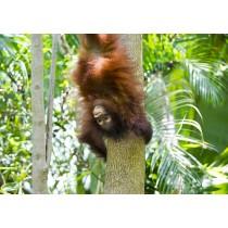Bornean Orangutan hanging upside down