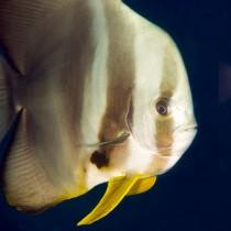 Batfish (longfin spadefish)