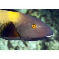 Bi-color Parrotfish (female)