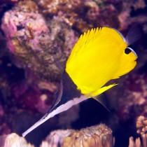 Big Longnose Butterflyfish foraging for invertebrates