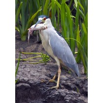Black-crowned Night Heron with a fish