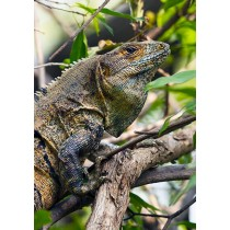 Mature Black Iguana hiding in the rainforest foliage