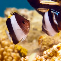 Brown and White Butterflyfish hovering by golden corals