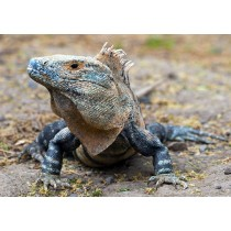 Giant of the beach - Black Spiny-tailed Iguana