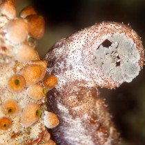 Black spotted sea cucumber