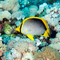 Blackback Butterflyfish swimming over soft corals