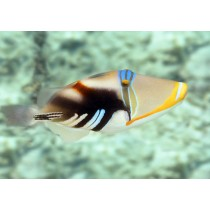 Picassofish (White-banded Triggerfish)