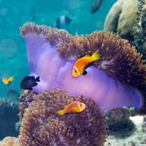Blackfinned clownfish (anemonefish)