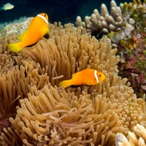 Pair of Clownfish (anemonefish) guarding their anemone