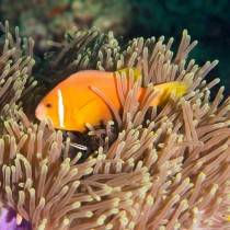 Clownfish in a Magnificent Anemone