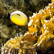 Exquisite Butterflyfish nibbling on fire coral polyps