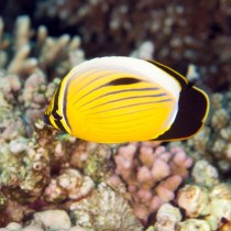 Blacktail Butterflyfish swimming by Fire Coral
