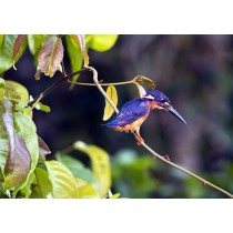 Blue-eared Kingfisher in the rainforest