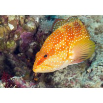 Blue Spotted Rock Cod