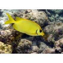 Blue-spotted Spinefoot