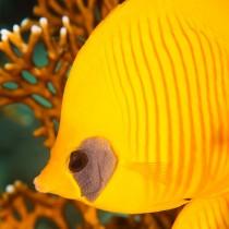 Bluecheek Butterflyfish hiding in Fire Coral